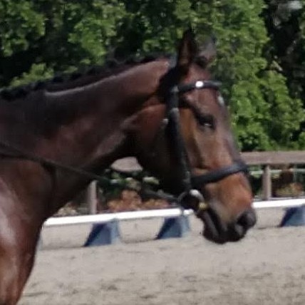 Correctly Fitted Crank Noseband Bridle